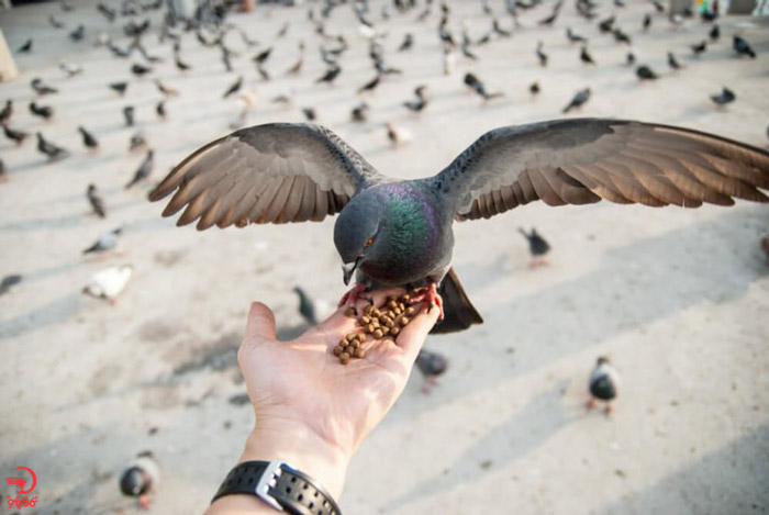 غذا دادن به کبوترها در سان فرانسیسکو ممنوع!