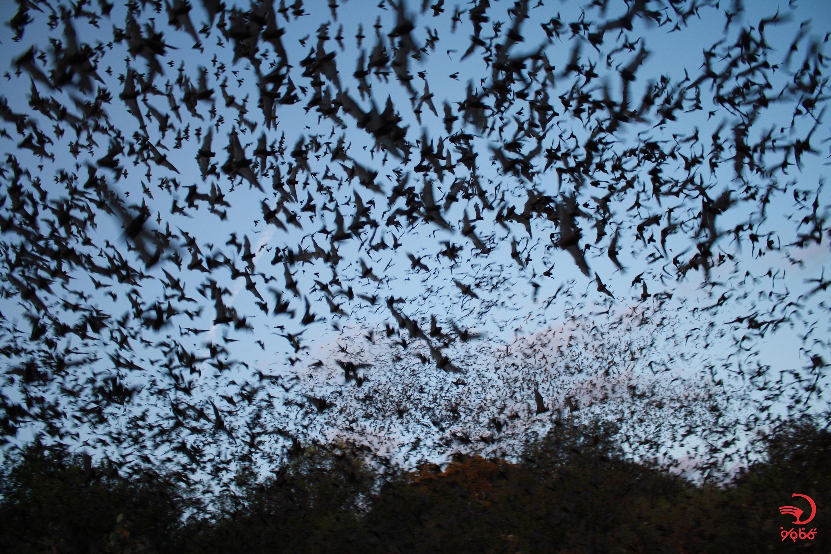 مهاجرت خفاش ها به کسنکا