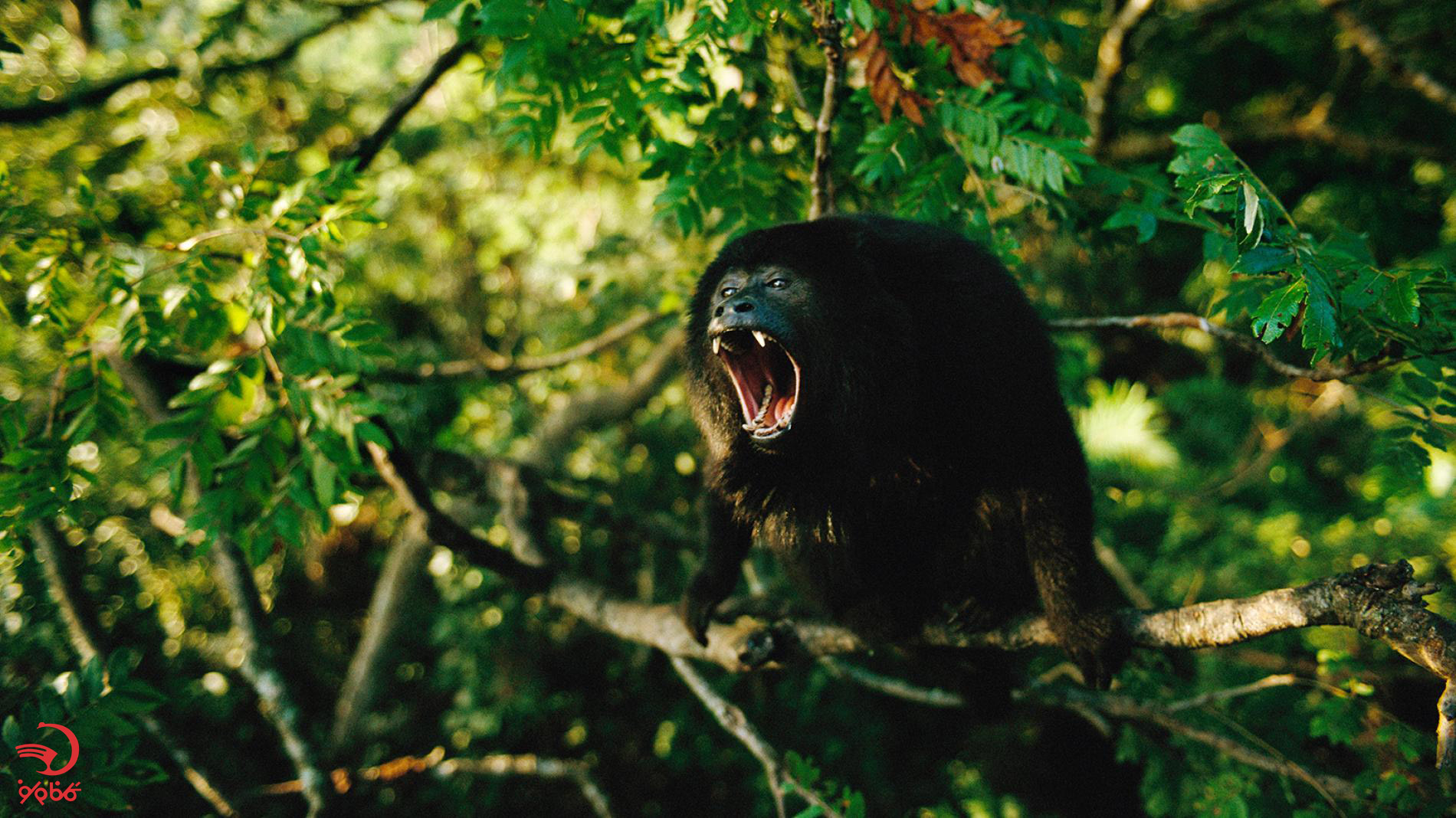 صدای میمون هولر