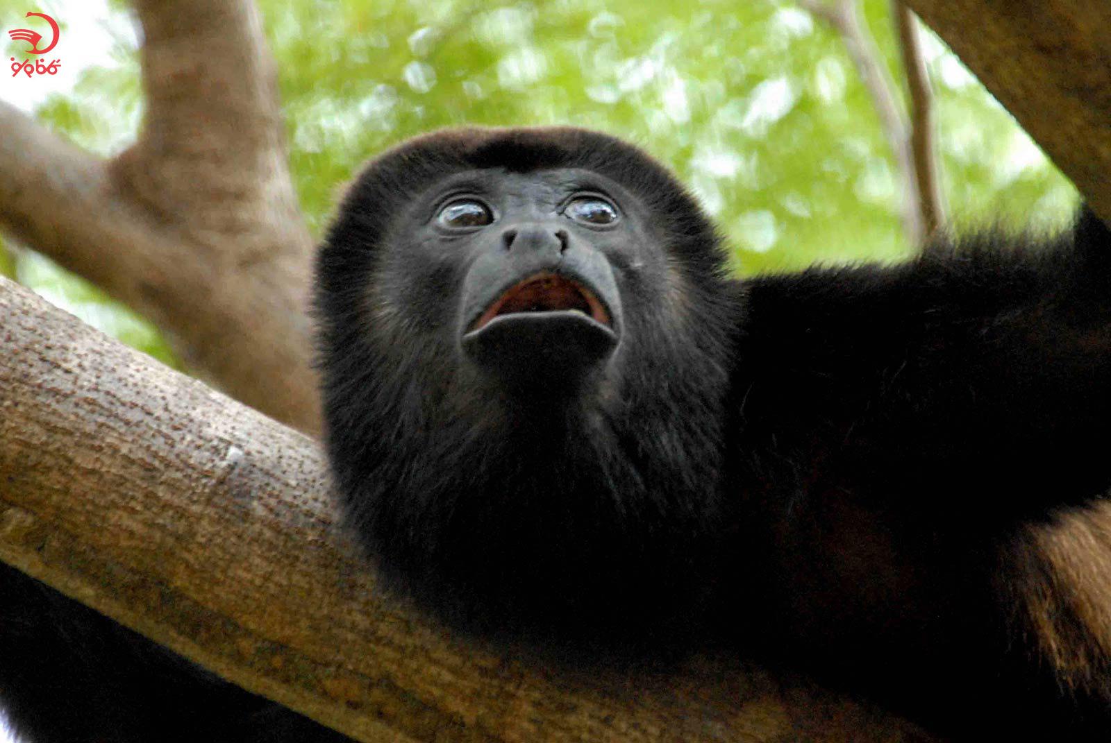 میمون هولر