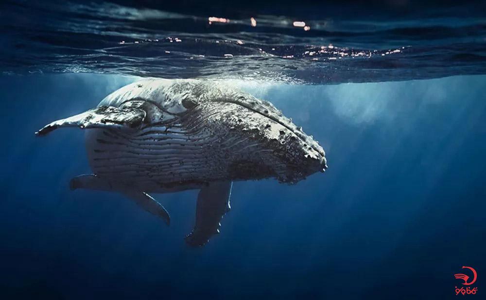 صدای  نهنگ هامپبک