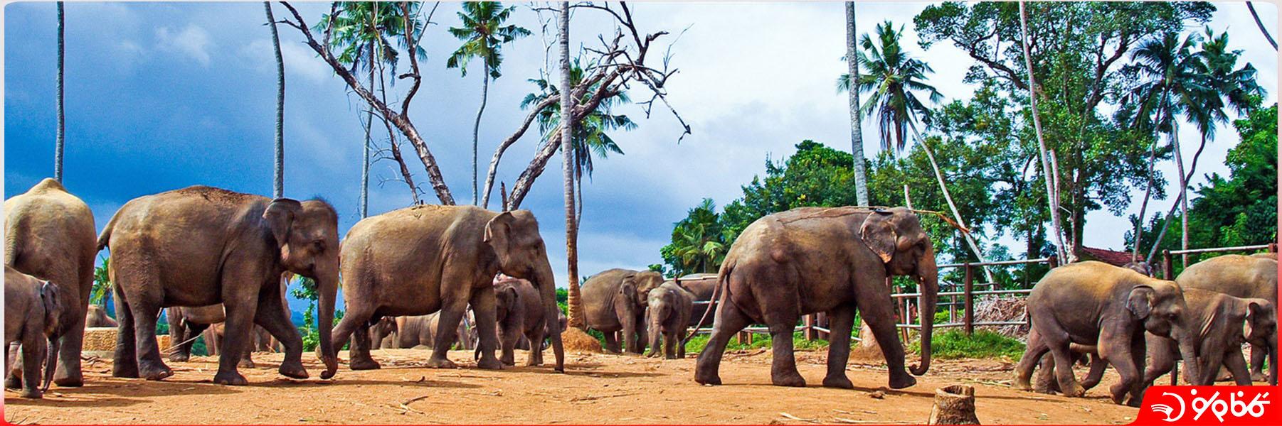 پرورشگاه فيل Anuradhapura