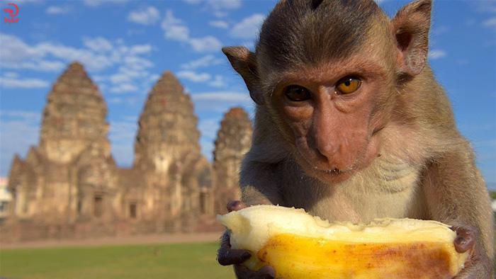 آشنایی با فستیوال میمون ها