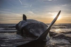 تنها ترین نهنگ جهان